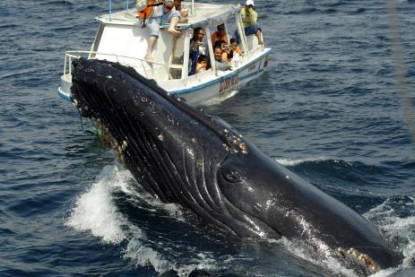 Nouvelles menaces sur les baleines