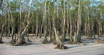 Mangrove des Sunderbands - Photo http://www.remotelands.com/