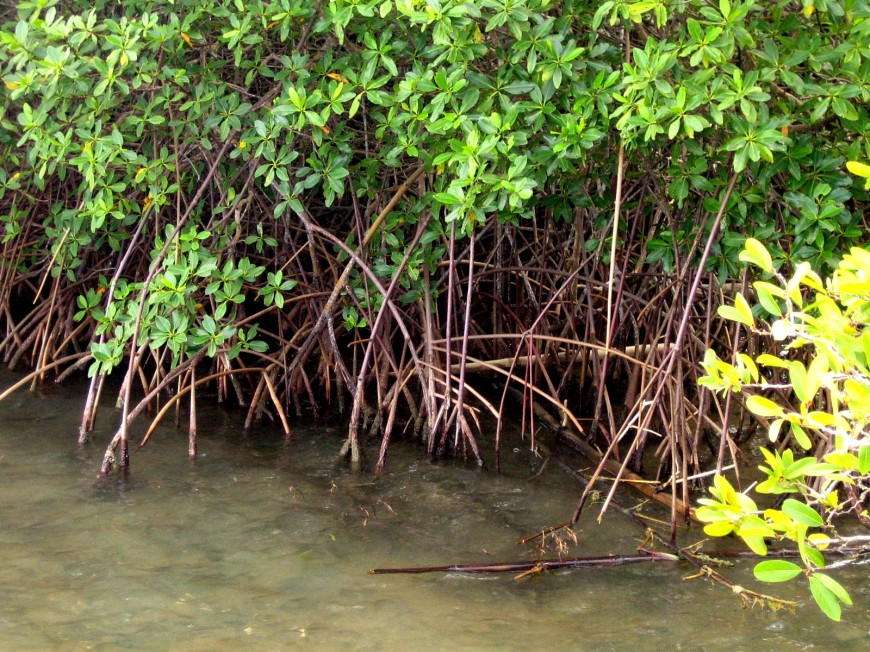 mangrove_martinique